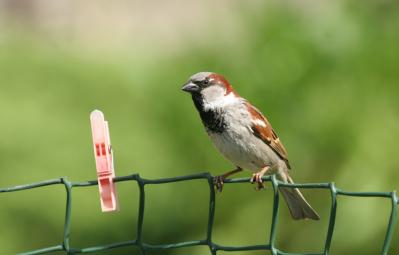ADULT 2= Ron Galloway House sparrow