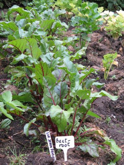 Beetroot as grown by Sir John Foulis